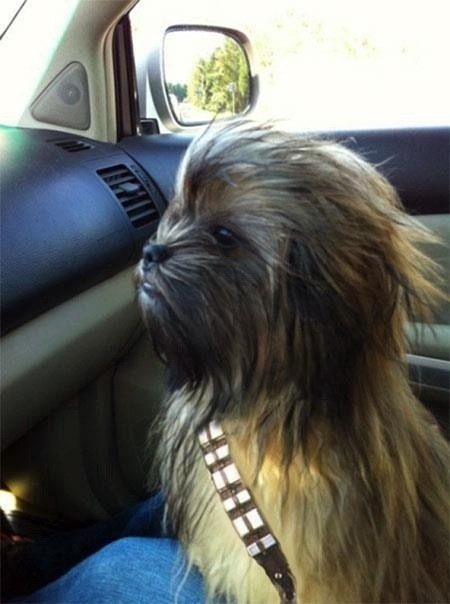 This is the best Chewbacca dog we've ever seen.