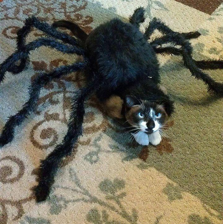 Spider Cat.