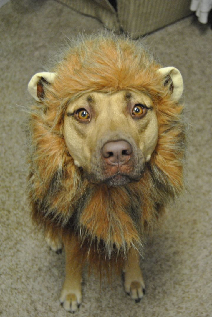 Why you Lion?