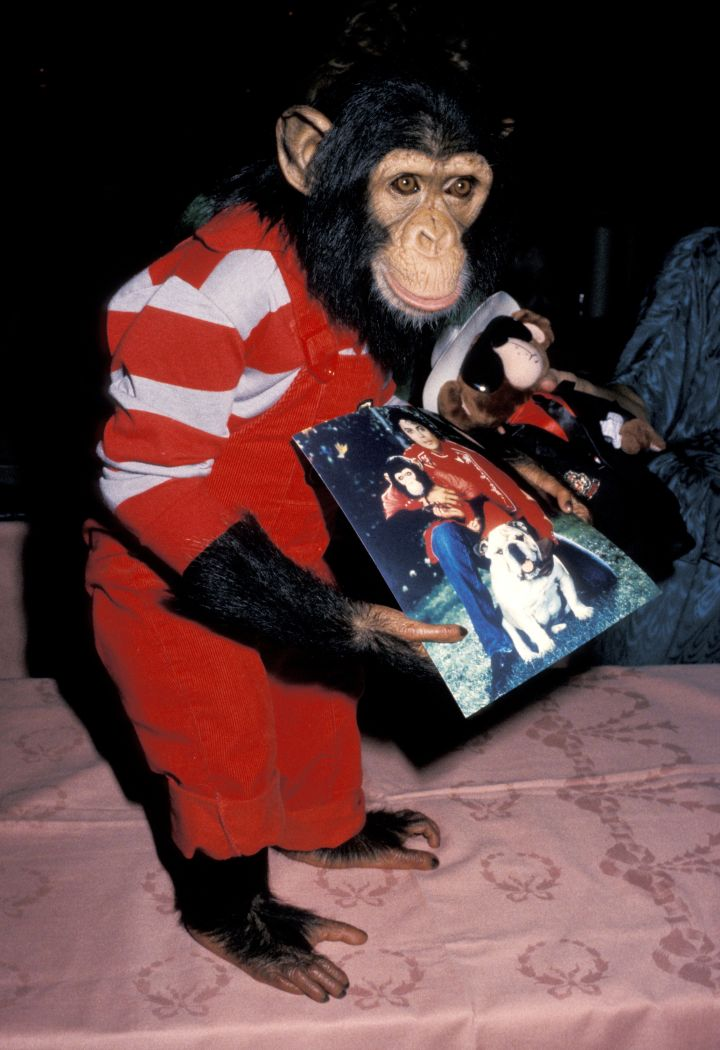 MJ loved animals, and had several…strange pets. He had a python called Crusher, two llamas called Louis and Lola, and his most famous pet was Bubbles, the chimpanzee.