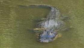 An alligator swims in a culvert near the