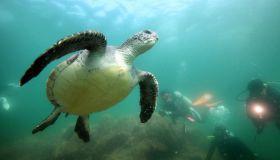 Divers swim with green sea turtle