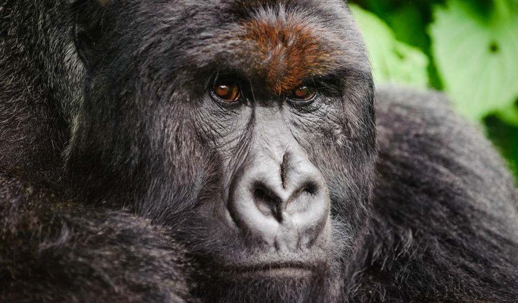 Silverback Mountain Gorilla, Democratic Republic of Congo