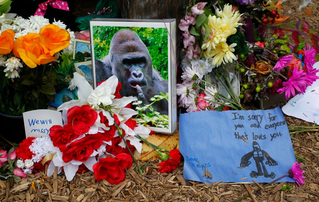 Controversy Rages After Shooting Death Of Endangered Gorilla At Cincinnati Zoo