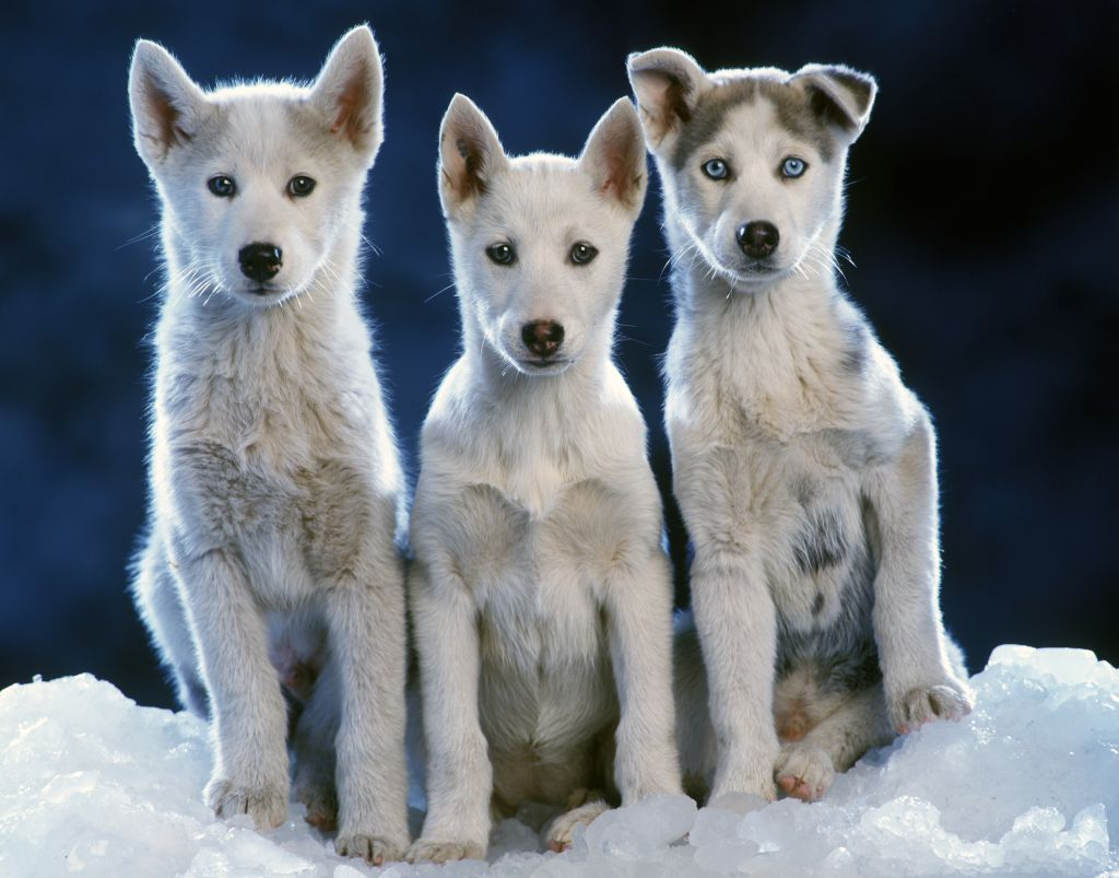 Siberian husky (Canis familiaris) three pups sitting side by side in snow