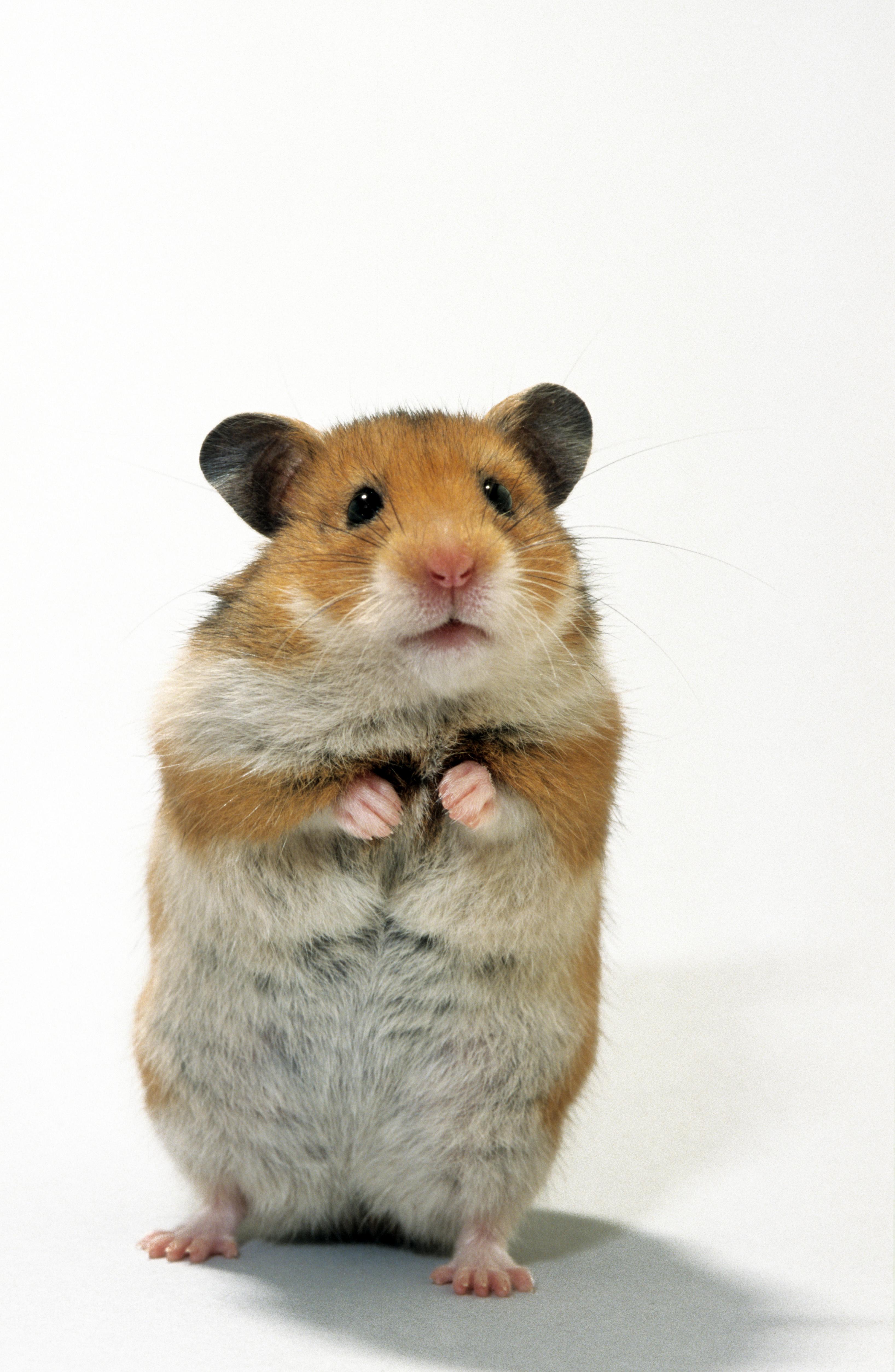 Golden hamster