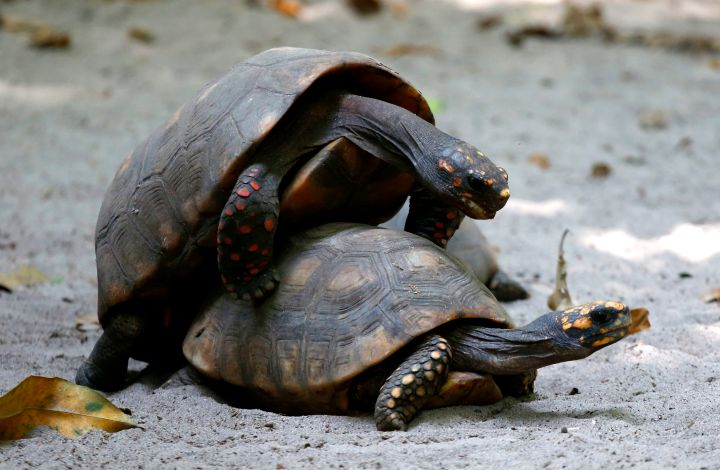 Turtles date back to the time of dinosaurs—more than 200 million years ago.