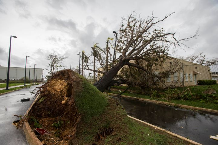 San Juan, PR: A thick tree completely raised from the ground.