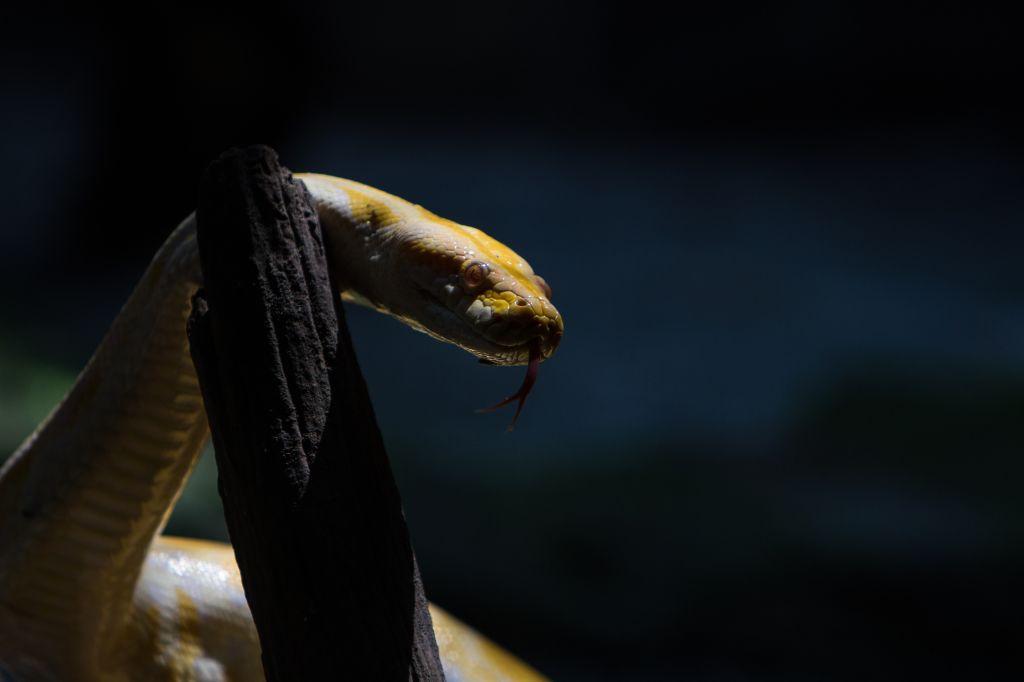 Python Molurus Albino