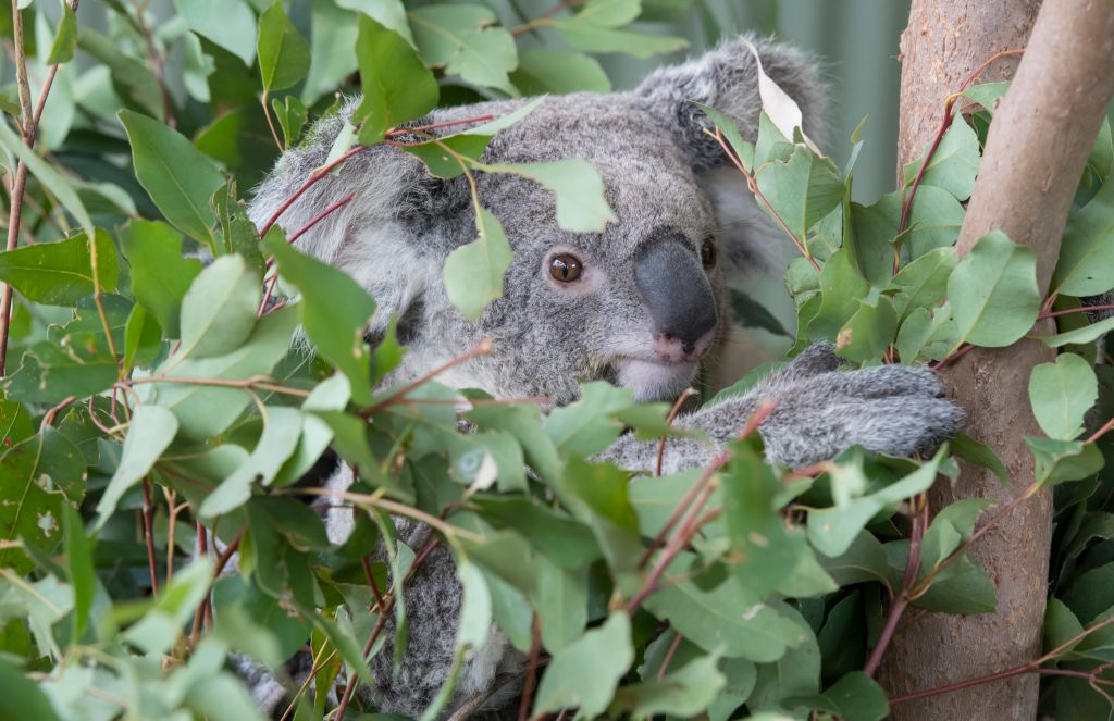 Koalas hanging out on tree at Wild Life Sydney Zoo