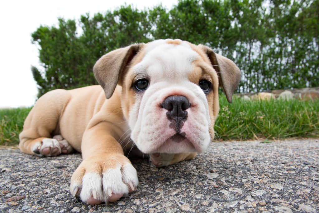 Puppy English Bulldog facing camera on sidewalk