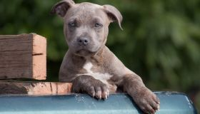 Blue Brindle blue-eyed pit bull terrier puppy looking at camera