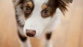 Portrait of Toy Australian Shepherd