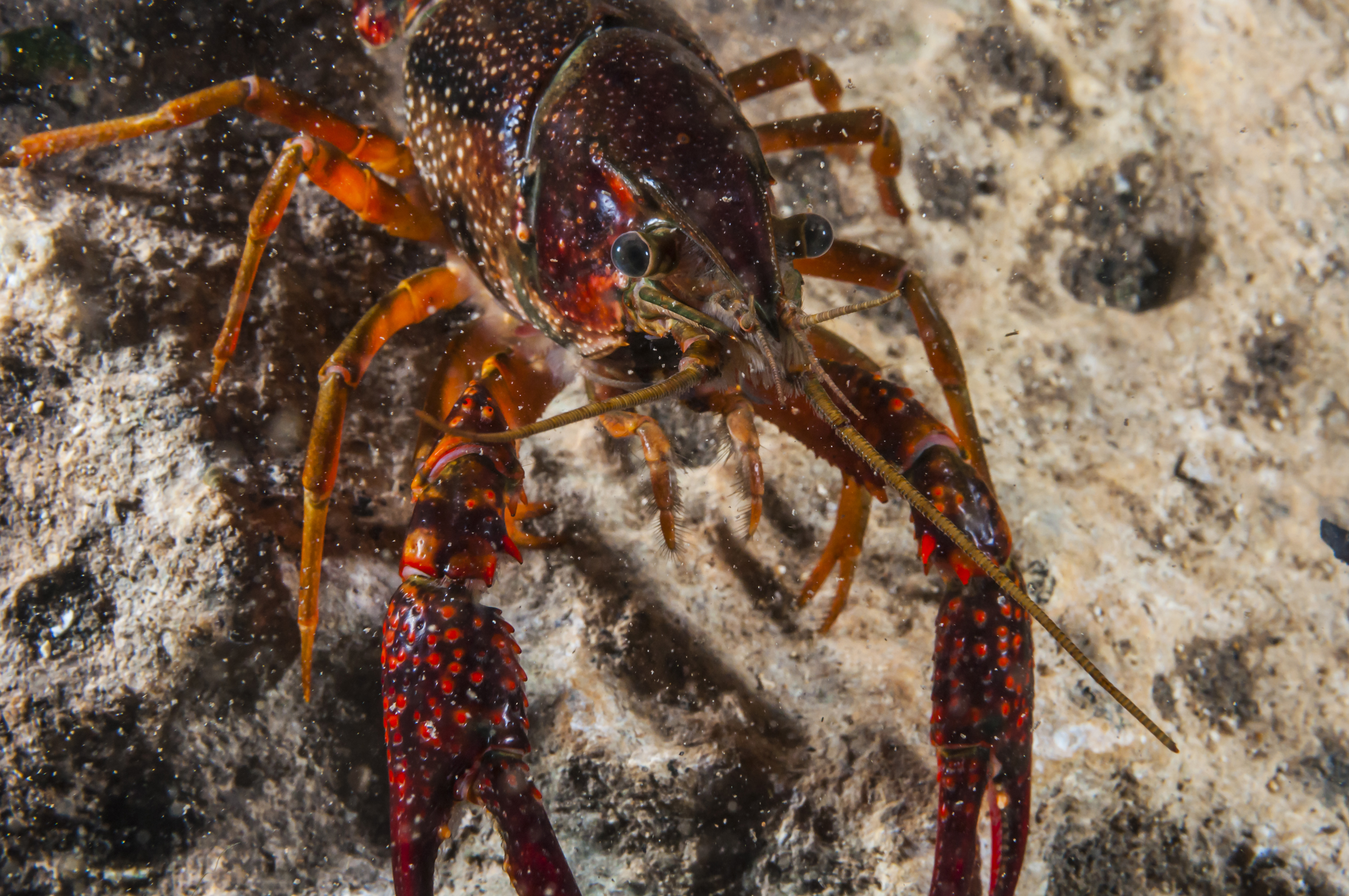Crawfish close-up during mating season in Jacobs Well Natural Area, Wimberley, Texas.