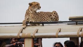 A cheetah on a vehicle