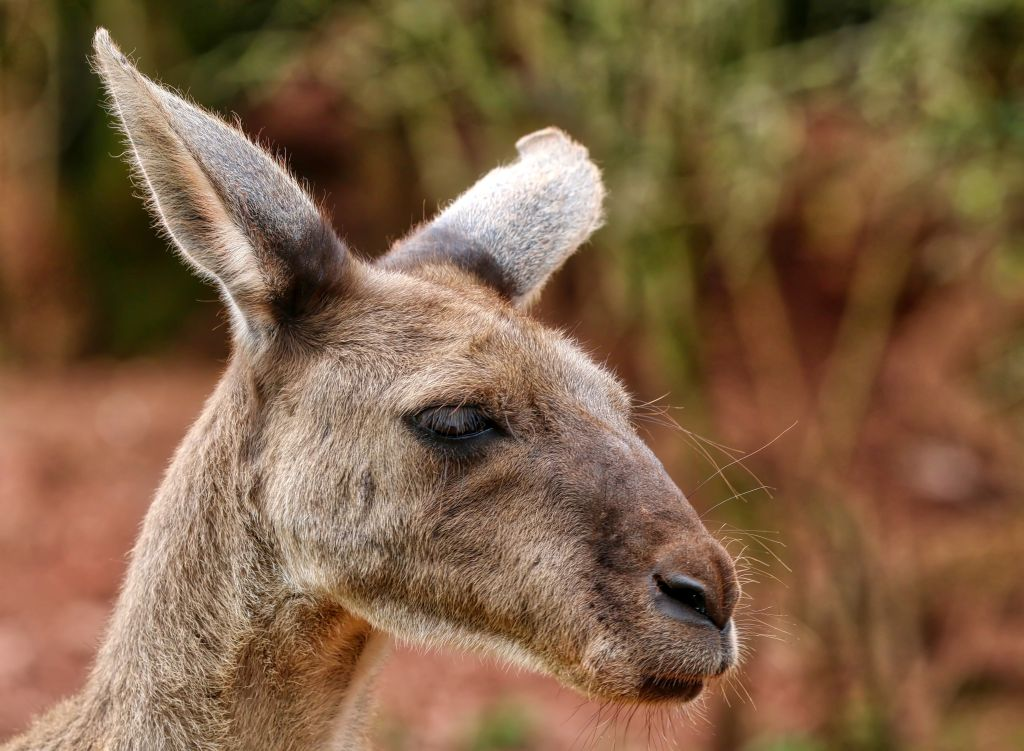 Close-Up Of A Kangaroo Against Blurred Background