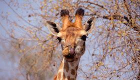 A female Giraffe licks her lips.