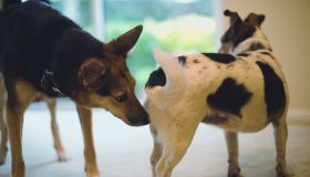 Dog sniffing another dog's rear, close-up