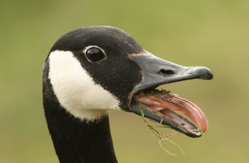A head shot of a Canada Goose (Branta canadensis) with its beak open and its tongue sticking out.