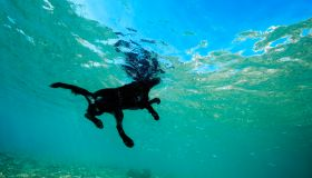 Black dog floats on the surface of the water, Red Sea, Dahab, Egypt