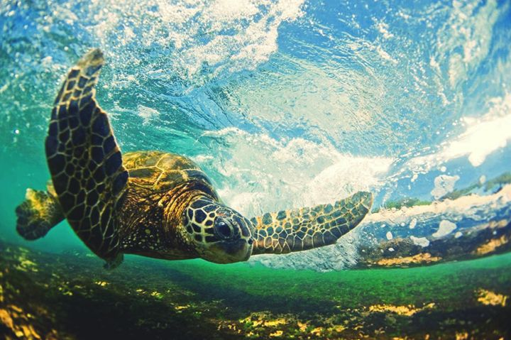 Sea turtles have special glands that remove salt from the water they drink.