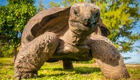 Seychelles, Bird Island, Seychelles giant tortoise (Aldabrachelys gigantea), endemic