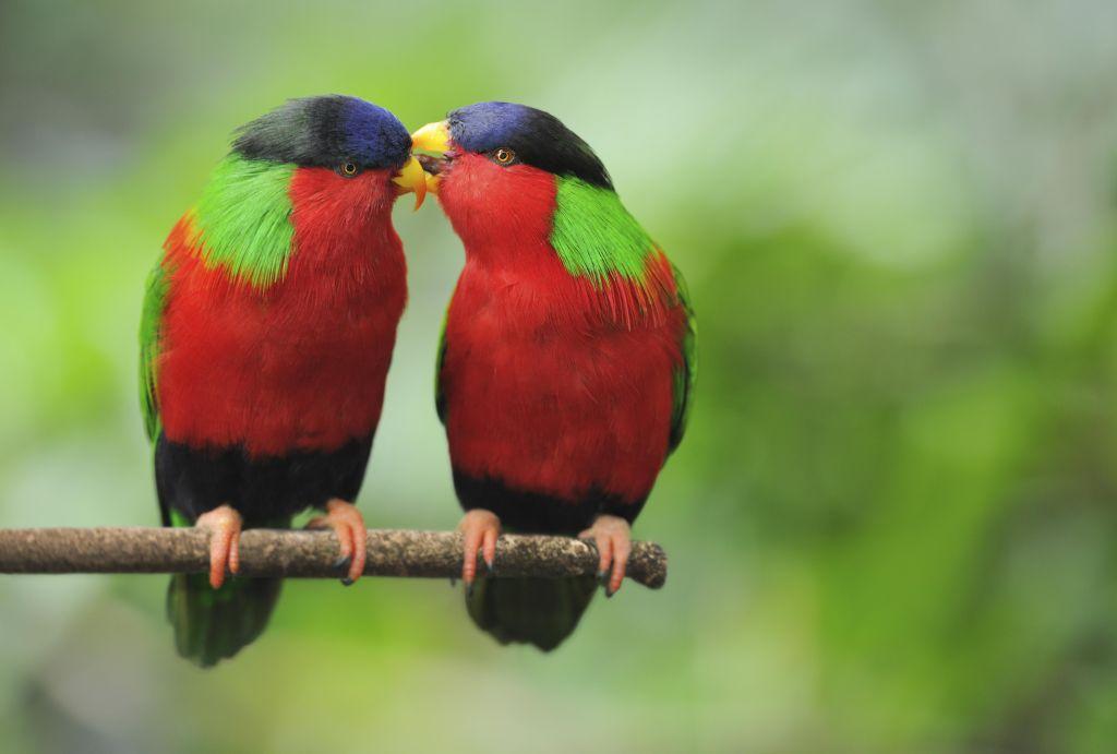 Love Talks - Parrots Whispering (XXL)