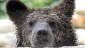 Three rescued brown Albanian bear cubs arrive at their new home at Bioparco di Roma Zoo