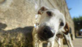 Perro Jack Russell blanco bebiendo agua en fuente