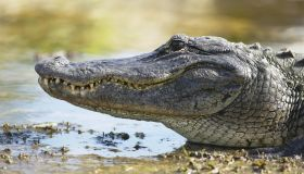 Alligator on mud, close-up