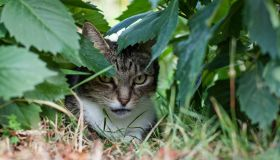 front view closeup of tabby cat hiding under dahlia foliage in garden