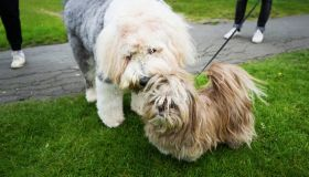 Two fluffy dogs together on a dog walk